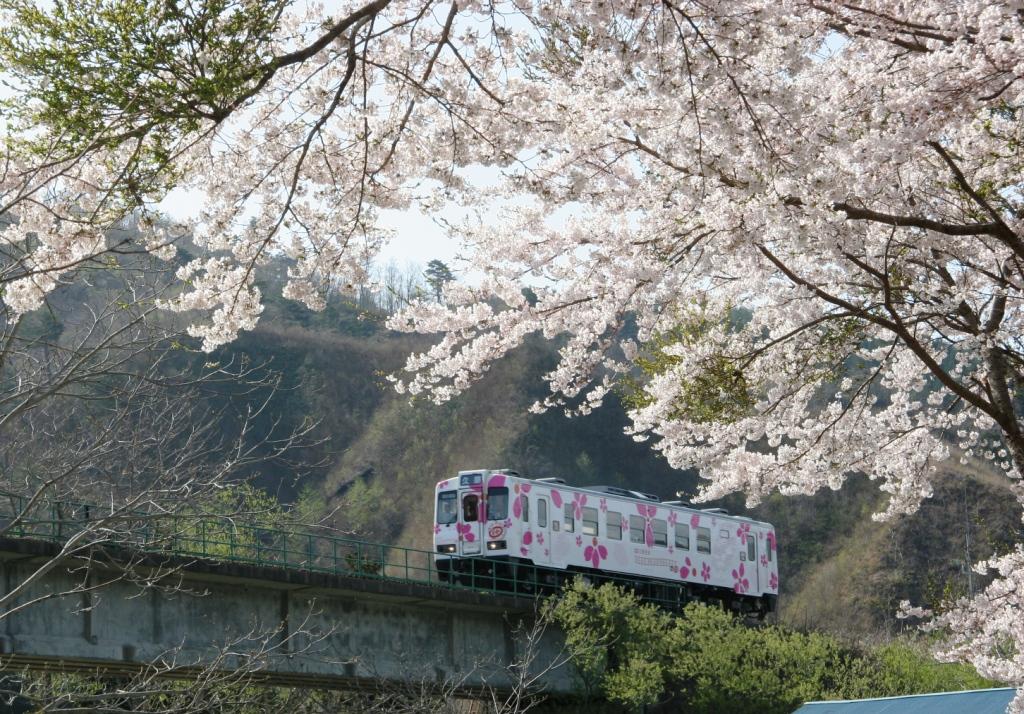 「キット、ずっと号」と「桜」のコラボ